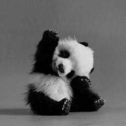 You know... they say if you are feeling depressed or down, look at a picture of a panda...it seems to cheer me up even if I'm not down :): Baby Pandas, Cute Animal, Baby Panda Bear, So Cute, Pandabear, Baby Animals, Cute Panda, Adorable Animal, Panda