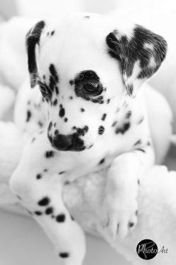 27 Hysterically #Guilty #Dogs: Doggie, Dogs, Dalmatian Puppies, Puppys, Dalmatians, Friend, Animal