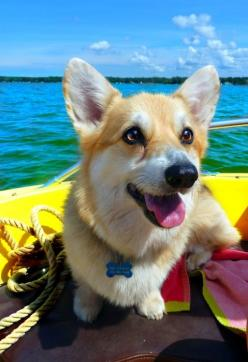♥ #corgi - In Memory of Mandy! My adopted puppy I feel in love with!: Corgis, Animals, Dogs, Corgi Puppies, Pet, Corgi S, Puppy, Things