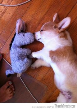 Flying Corgi! | Cute Pembroke Welsh Corgi puppy Olwen via Flickr - Photo Sharing! © Mike Bostock mbostock: Corgis Sleeping, Corgi Butts, Dogs, Corgi Puppies, Welsh Corgis, Corgi S, Fuzzy Butt, Photo