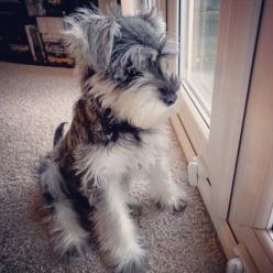 miniature schnauzer puppy - my heart is melting. Had a Schnauzer for 10 years. He even lived in Japan with us. His name was Fritz. What a cutie he was.: Animals, Sweet, Dogs, Pet, Puppys, Mini Schnauzers, Baby, Schnauzer Puppy