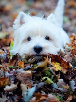Neal always wanted a Westie when we were dating/getting married. I remember getting so mad at him bc I couldn't understand why ANYONE would PAY for a dog, when there are so many deserving, wonderful dogs that need to be rescued!! We rescued Cricket an