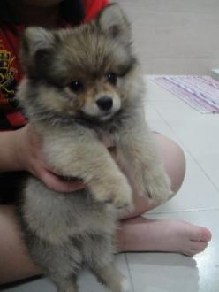 puppies pomsky | More pomeranian puppies for free sorry @Paul Christensen - I had to show you this FLUFF BALL: Doggie, Pomsky Puppy, Puppys, Pomsky Puppies, Box, Puppy Pomsky, Pomeranian, Animal