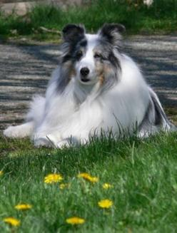 Sheltie - Crystal   Another Scout lookalike!