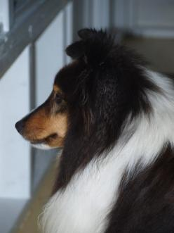 Sheltie (Shetland Sheepdog). THE BEST DOG EVER!! I have owned 1 of these so far, very loyal and VERY intelligent. This is the only breed for me or golden retrievers...