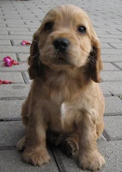 someday I'm going to have another english cocker spaniel. My Mollie Jo was a special girl !