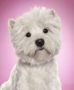 the noble west highland terrier aka cesar dog