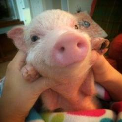 They've got infectiously cheerful dispositions. | 16 Reasons Pigs Make The Best Pets: Teacup Piglet, Animal Nose, Cutest Pet, Pigs Pet, Pet Piglet, Pet Mini Pig