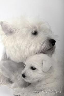 Westie and her puppy