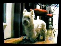 ▶ Westie Rings Bell To Go Outside - YouTube