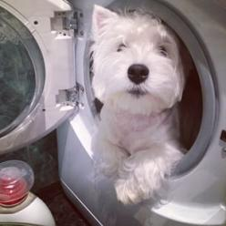 Whatsoever. | 29 Pictures That Prove You Should Never Own A Westie