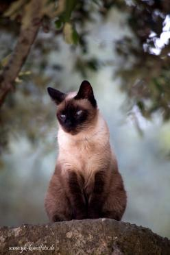"""A cat is Nature's beauty."" --French Proverb: Cats Cats, Kitty Cats, Siamese Cats, Beautiful Cats, Pretty Cat, Cats Dogs, Cats Siamese, Cats Kittens, Cats Big"