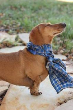 """In a scarf enjoying the sun."" - Thanks to Ashaley Lenora for sending me this fashionably attired doxie.: Baby It S, Weenie Dogs, Daschunds Lovers, Babies Doxies, Dachshunds Rock, Doxie S, Weiner Dogs, Darling Doxies, Wiener Dogs"