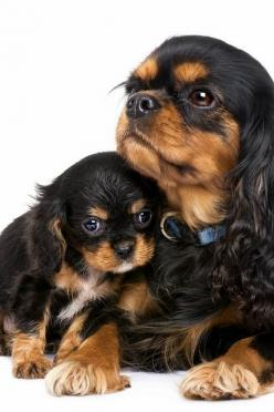 A Cavalier King Charles Spaniel. The mom look like the dog I had as a child. Still miss her!: Dogs Cavalier King Charles, Spaniel Puppies, Pet Dogs, Dogs Pets, Dogs Puppies, Mini Me, Baby Dogs, Tan Cavaliers, King Charles Spaniels