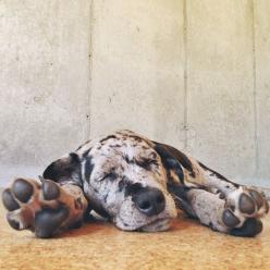 "A pinner writes ""This is Franconia (or Frankie or Franx). She loves tripe, bananas, and sweet potato. Prefers tearing through dirt, rocks, and bushes to concrete. In other words, perfect."" : Great Danes, Doggie, Dane Puppies, Pet, Great Dane Puppy"