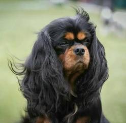 Absolutely magnificent black and tan Cavalier King Charles Spaniel - - photo by Kuvauksellista.com: Dogs Animals Puppies, Cutest Lapdogs, Beautiful Animals, Charles Spaniels, Animals Cavalier The, Cocker Spaniels, Animals Nature