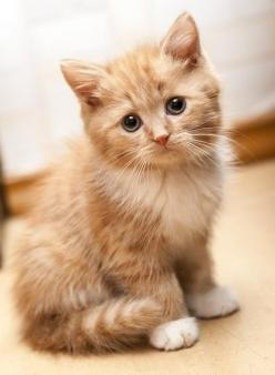 """Art On Sun: this cat was staring at me when I was scrolling down saying """"pin me, pin me."""" so I had to:): Kitty Cats, Ginger Kitten, Cute Kitten, Kitty Kitty, Cat S, Cats Kittens"""