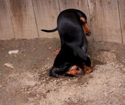 Digging doxie. Love this! They're so focused and determined...: Daschund, Weenie Dogs, Weinerdogs, Digging Dachshund, Doxie S, Weiner Dogs, Digging Doxie, Wiener Dogs