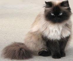 Himalayan Cat = Persian+Siamese - Different type of cats Catsincare.com: Himalayan Persian Cat, Kitty Cats, Beautiful Cat, Cat Himalayan, Himalayan Cats, Pretty Kitty, Siamese Cat