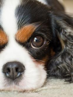 If I were to ever get another pup.  And that's a big IF.  I'd want a Cavalier king charles spaniel.  Just like Elizabeth Taylor from SATC.: Doggie, King Charles Cavalier Spaniel, Tri Color, Puppy Dog Eyes, Pet, Beautiful Cavalier, Spaniel Beautifu