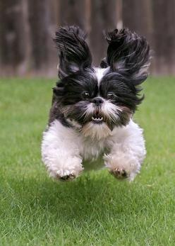 If only we could all be so happy :): Shihtzus, Pet, I M Coming, Puppy, Shih Tzu S, Shih Tzus, Animal, Make Me Smile, Furry Friends