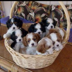 "Is a ""basket of cavaliers"" synonymous with a ""barrel of monkeys""?.....looks like a lot of potential fun, sweet puppy breath and love!: Cavalier Puppies, King Cavaliers, Easter Baskets, Cavalier King Charles, Cavalier Spaniel, King Charles"