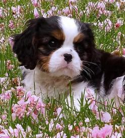 King Charles Cavalier Spaniel Puppy. I usually prefer the brown and white only but this one is really cute.: Spaniel Puppies, Cavalier Spaniel, Dogs Puppies, Cavalier King Charles, King Charles Cavalier, Cavalier Puppy, King Charles Spaniels, Animal