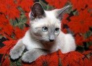 Lynx Siamese cats came about from the accidental mating of a purebred Seal Point with a tabby.: Siamese Kittens, Adorable Animals, Siamese Cats I, Animals Fish, Animals 3, Cats Siamese, Kittens Cats, Cats Lilac