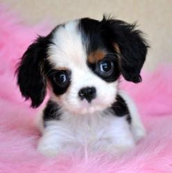 My kids want this for Christmas! ;-)  How cute is this little puppy.....NOT $850 worth of cuteness!!!  Clearly I need to start a puppy business.: Spaniel Puppies, Charles Puppy, Cavalier S, Cavalier King Charles, Cavalier Puppy, King Charles Spaniels