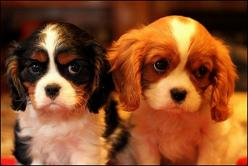 Oh no, dont give me that look - Imgur: Cavalier Eyes, Big Eyes, Charles Cavaliers, Cutest Puppies, Cavalier King Charles, Cavalier Spaniel, King Charles Cavalier, King Charles Spaniels, Puppy Eyes