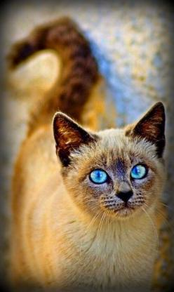 Siamese cat: Blue, Cats Domestic, Cats Breeds, Art, Cats 24 7, Siamese Cat, Kitty, Cat Smiles, Animal