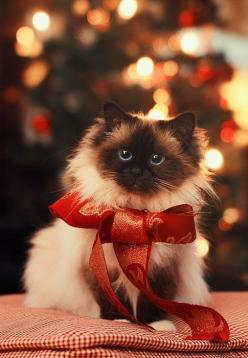 Sweet present. For more Christmas cats, visit https://www.facebook.com/funholidaycats: Christmas Cats, Beautiful Cat, Kitty Cat, Christmas Pet, Kitty Kitty, Christmas Kitty, Christmas Animal, Merry Christmas
