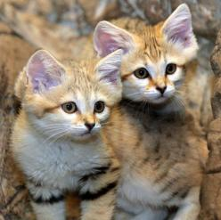 These Arabian Sand Cat kittens recently debuted at the Cincinnati Zoo: Big Cat, Animals Wild Cats, Animals Land Sand Cats, Sandcat, Baby Animal, Animals Cats, Cats Kittens, Dune Cat
