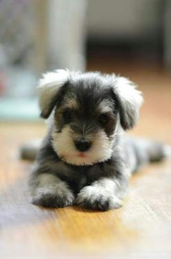 """This is probably one of the cutest puppies I've ever seen """"Baby schnauzer"""": Mini Schnauzer, Cute Animal, Miniature Schnauzer, So Cute, Baby Animal, Schnauzer Puppy, Cute Dog, Cutest Animal"""