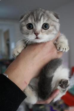 This is the breed of kitty i want someday, SCOTTISH FOLD. Floppy ears and sits Indian Style alot.  <3 adorable: Scottish Folds, Scottish Fold Kittens, Cat Scottish Fold, Folded Ears, Floppy Ears, Scottish Fold Cat, Indian Style, Cats Kittens