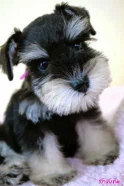 Top 10 Best Hypoallergenic Dog Breeds: Doggie, Schnauzer S, Hypoallergenic Dog, Mini Schnauzers, Dogs Puppies, Schnauzer Puppy, Dog Breeds, Animal