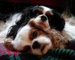 True love, Cavalier King Charles Spaniels - love my two.  Too great of a breed to have just one.: Doggie, Sweetest Dogs, Puppy Love, Sweet Cavaliers, Dogs Cavaliers, Cavalier King Charles, King Charles Cavalier, Friend, King Charles Spaniels