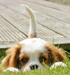 Well hellooooo there!: Doggie, Spaniel Puppies, Peek A Boos, Pet, Puppys, Cavalier King Charles, King Charles Cavalier, King Charles Spaniels, Animal