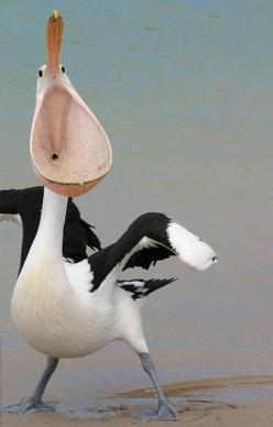 A wonderful bird is the pelican,  His bill will hold more than his belican,  He can take in his beak  Enough food for a week  But I'm damned if I see how the helican!: Big Mouths, Animals, Creatures, Funny Animal, Birds, Photo