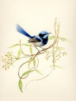 Amazing colors and feathers!   ♥ ♥ www.paintingyouwithwords.com: Blue Wren, Animals, Nature, Color, Beautiful Birds