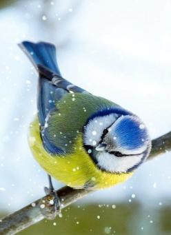 *BLUE JAY ~ They do not migrate. They stay in winter in Ontario, Canada, and brighten up our winter days at the bird feeders.: Animals, Bluet, Fowl, Nature, Color, Beautiful Birds, Blue Tit