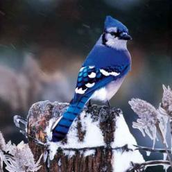 Bluejay - WOW, now that's blue!.It looks really pretty. Please check out my website Thanks. www.photopix.co.nz: Animals, Beautiful Blue, Blue Jays, Beautiful Birds, Bird Watching