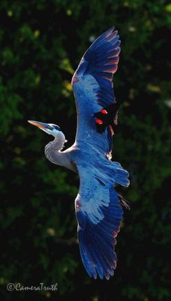 Great Blue-Heron with a male Red-Winged Blackbird in flight while the Red-Winged Blackbird lets the heron know he is too close to the Red-Winged Blackbird's nest.: Male Red, Blue Heron, Redwing Fighting, Redwing Blackbird, Beautiful Birds, Animal