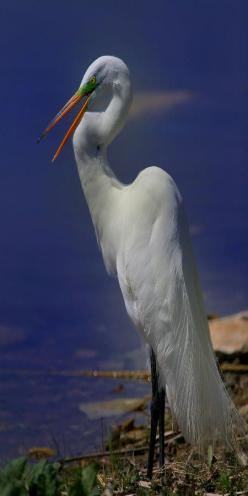 I've no regret for every Great White Egret that  I have met  // photo by John Absher
