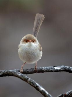 Love, to always protect  to keep a place eternally safe from death. Superb Fairy-wren