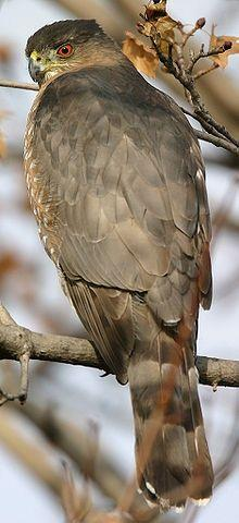 New Wonderful Photos: Coopers Hawk