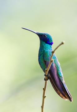 One of the fastest birds is the green violet-ear hummingbird. It can fly up to 93 mph.