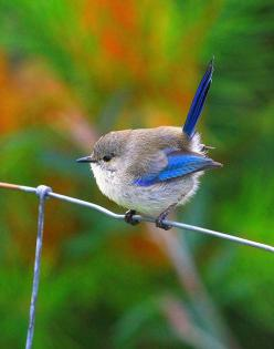 Splendid Fairy Wren...who looks too fat - I mean, fluffy - to fly!!!!!