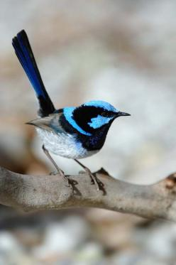 Superb Fairywren (Blue Wren) - Birdwatching & Wildlife - Stockman's Ridge Wines | Cellar Door - Orange, NSW