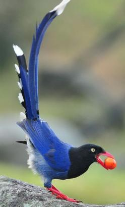 Taiwan blue magpie.  see:  http://petslady.com/articles/petsladys-pick-totally-cool-magpie-day-67132: Animals, Nature, Color, Taiwan Blue, Beautiful Birds